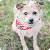 Terrier (Unknown Type, Small) Mix Dog for adoption in Kingwood, Texas - Benjy