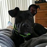 Adopt A Pet :: Desi - Sarasota, FL