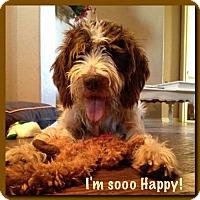 German Wirehaired Pointer Dog for adoption in Denton, Texas - Kodiak
