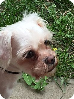 Lhasa Apso Dog for adoption in Lincoln, Nebraska - Squeakers