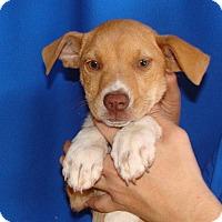 Adopt A Pet :: Cass - Oviedo, FL
