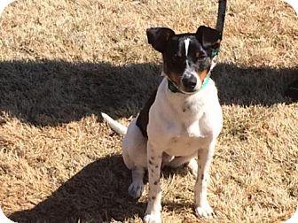 Rat Terrier/Beagle Mix Dog for adoption in Alpharetta, Georgia - Branson