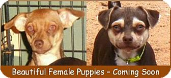 Chihuahua/Pug Mix Puppy for adoption in Tucson, Arizona - Puppies - Coming Soon