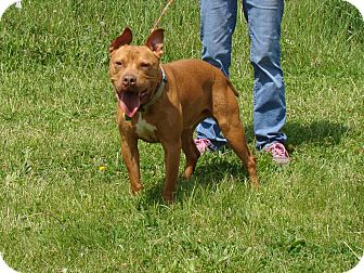 Pit Bull Terrier/Staffordshire Bull Terrier Mix Dog for adoption in Cameron, Missouri - Buster