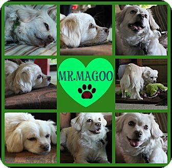 Maltese/Poodle (Miniature) Mix Dog for adoption in Cambridge, Ontario - Mr.Magoo