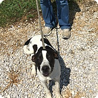 Beagle/Terrier (Unknown Type, Medium) Mix Dog for adoption in Loogootee, Indiana - Bailey