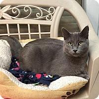 Adopt A Pet :: Smokey - Lakewood, CO