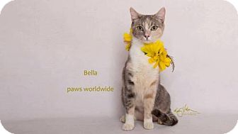 Domestic Shorthair Cat for adoption in Corona, California - BELLA