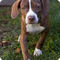 Boston Terrier/Beagle Mix Puppy for adoption in St. Louis Park, Minnesota - Manny
