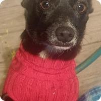 Adopt A Pet :: Puppy - Phoenix, AZ
