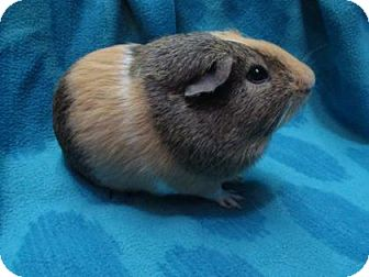 Guinea Pig for adoption in New Orleans, Louisiana - Lucas