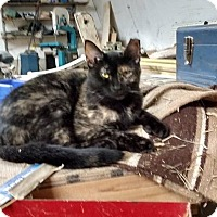Domestic Shorthair Cat for adoption in Toronto, Ontario - Binky