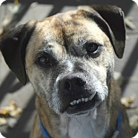 Boxer/Labrador Retriever Mix Dog for adoption in Pontiac, Michigan - Rebel