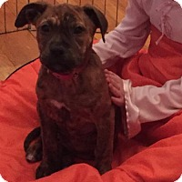 Adopt A Pet :: Baby Harley - Rockville, MD