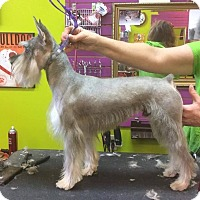 Adopt A Pet :: Nacho - Bridgeton, MO