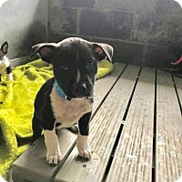Adopt A Pet :: FONZI - Mesa, AZ