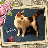 Domestic Shorthair Cat for adoption in Buffalo, Indiana - Fran