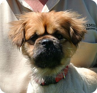 Pekingese Mix Dog for adoption in white settlment, Texas - Buster