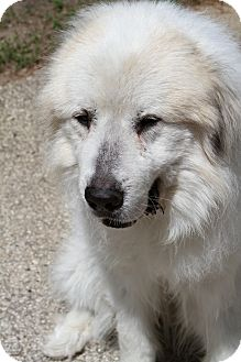 Great Pyrenees Dog for adoption in Muskegon, Michigan - Maverick