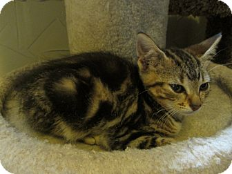 American Shorthair Kitten for adoption in Richland, Michigan - Joy