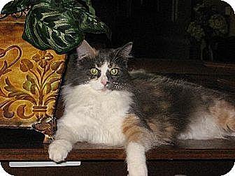 Calico Cat for adoption in Fullerton, California - Faith