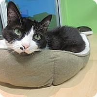 Adopt A Pet :: Shiva - Chicago, IL