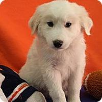 Adopt A Pet :: Malik - Broomfield, CO