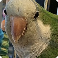 Parakeet - Quaker for adoption in Punta Gorda, Florida - Cujo