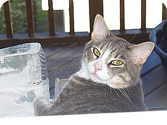 Domestic Shorthair Cat for adoption in Halifax, Nova Scotia - Sponsor Leonard
