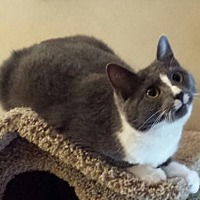 Adopt A Pet :: Antionette - Knoxville, TN