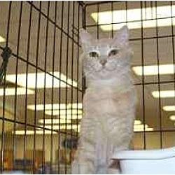 Photo 3 - Domestic Mediumhair Cat for adoption in Chino, California - Hart