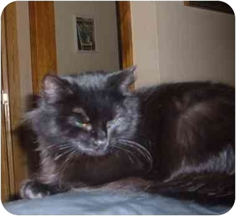 Domestic Longhair Cat for adoption in Bedford, Massachusetts - Raven