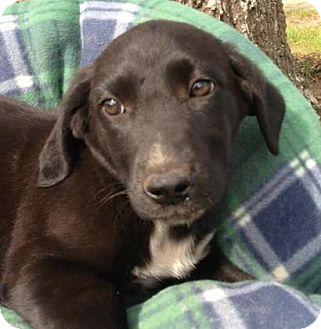Basset Hound/Collie Mix Puppy for adoption in Centerville, Georgia - Westerly