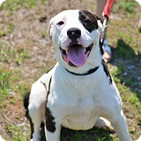 American Bulldog/Labrador Retriever Mix Dog for adoption in Hazlehurst, Georgia - Jessie