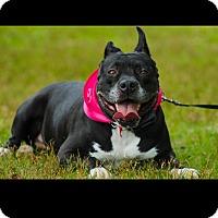 Adopt A Pet :: Ladybug - Middlebury, CT