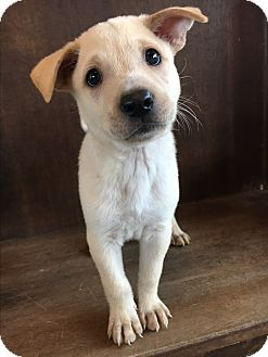 Shepherd (Unknown Type) Mix Puppy for adoption in Fredericksburg, Texas - Chastity