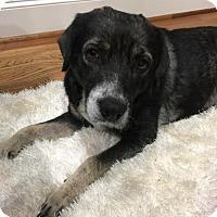 Beagle/Husky Mix Dog for adoption in Houston, Texas - Marta