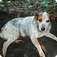 Adopt A Pet :: Gemma - Bradenton, FL