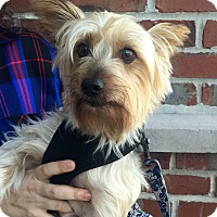 Silky Terrier Mix Dog for adoption in Summerville, South Carolina - Monte Carlo
