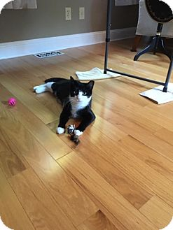 Domestic Shorthair Cat for adoption in Acushnet, Massachusetts - Ellie
