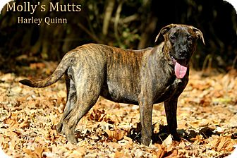 Mountain Cur/Labrador Retriever Mix Dog for adoption in Dixon, Kentucky - Harley Quinn