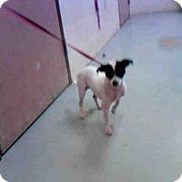 Adopt A Pet :: VIVI - Conroe, TX