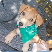 Shepherd (Unknown Type)/Beagle Mix Puppy for adoption in Garfield Heights, Ohio - Jake-PENDING