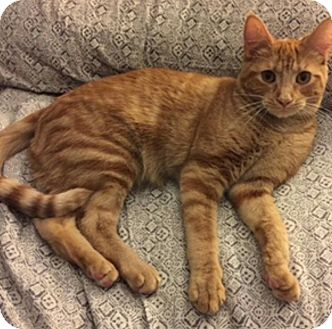 Domestic Shorthair Cat for adoption in Rochester, Michigan - Hank