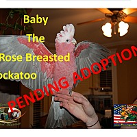 "Adopt A Pet :: ""Baby"" The Gala / Rose Breaste - Vancouver, WA"