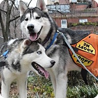 Adopt A Pet :: Husky Twins Saint & James - NYC, NY