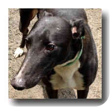 Greyhound Dog for adoption in Roanoke, Virginia - Tin Man