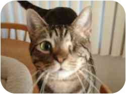 Domestic Shorthair Cat for adoption in Pasadena, California - Onion