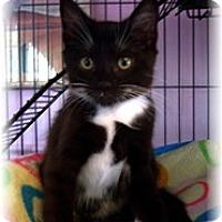 Adopt A Pet :: Mittenz - Shelton, WA