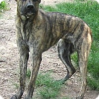 Catahoula Leopard Dog/Great Dane Mix Dog for adoption in Tahlequah, Oklahoma - Blue